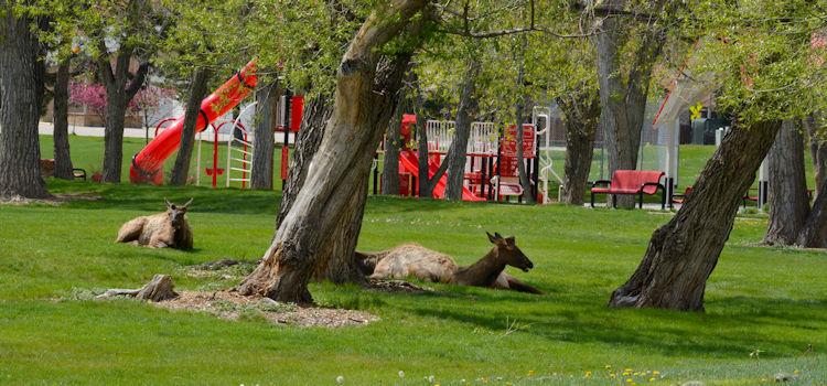 deer in an arvada aprk